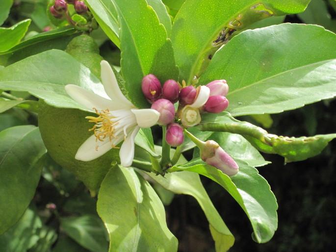 #Orangenblütenwasser: Vallebonas von #Slow Food anerkanntes Produkt.