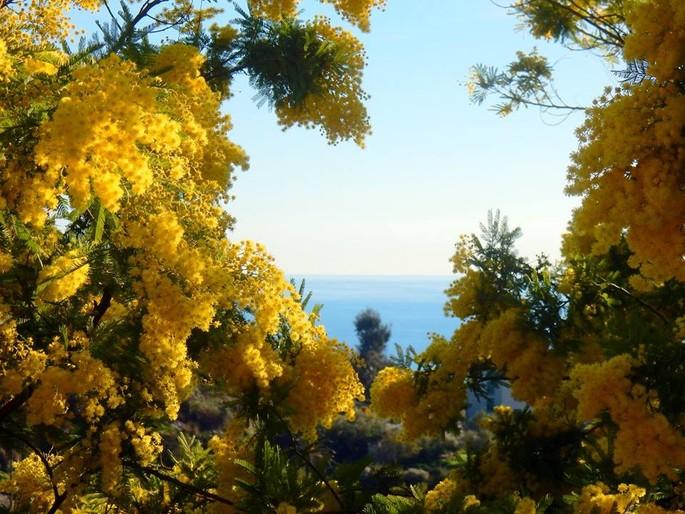 Mimose: alles was Sie wissen möchten über das Symbol vom 8. März, dem internationalen Frauentag