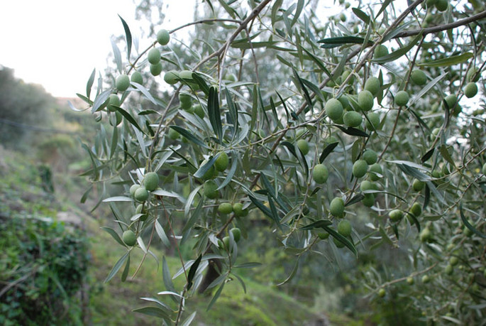 Olive oil: its medicinal properties and many uses