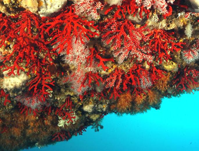 """Черво: Красный коралл  - красное """"золото"""" Средиземноморья"""