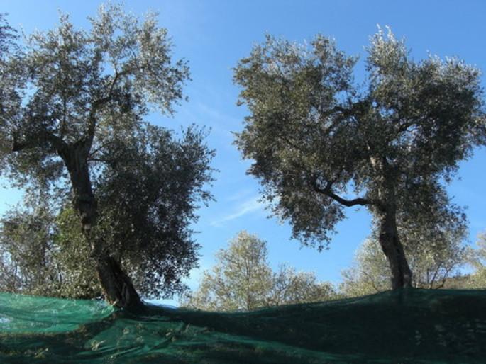 Дорога Оливкового Масла в Лигурии