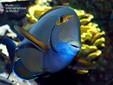 Acanthurus blochi