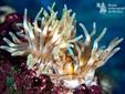 Clown fish loves anemone