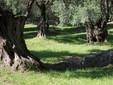 Centuries old olive trees, credit Judit Neuberger