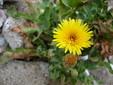 Reichardia picroides, credit Forest Kim Starr