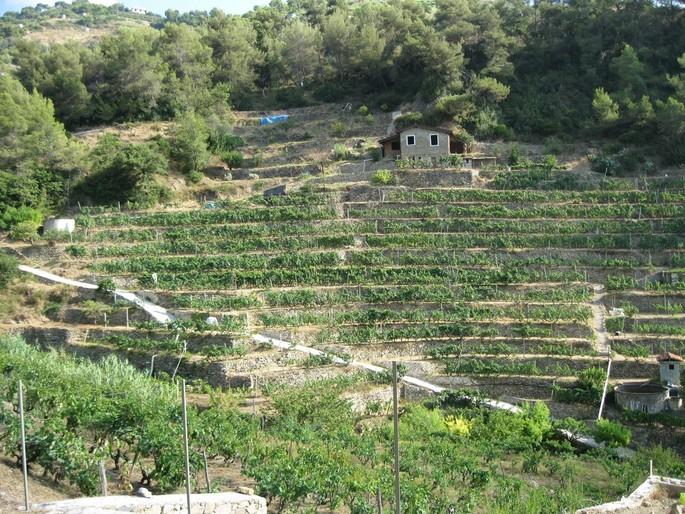 Mehr renommierte Weinberge in den nächsten Jahren in Ligurien!